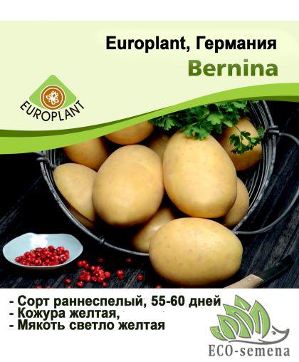 Europlant Германия. Картофель семенной сорт Бернина среднеранний, 1 кг