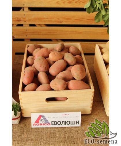Семенной Картофель Агрико, Эволюшн (Evolution), 2,5 кг/уп