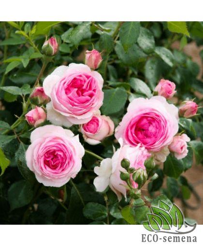 Роза Плетистая Иден Роуз (Eden Rose) розовая 3,5 м