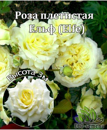 Роза Плетистая Ельф (Elfe) нежная слоновая кость 3,5 м