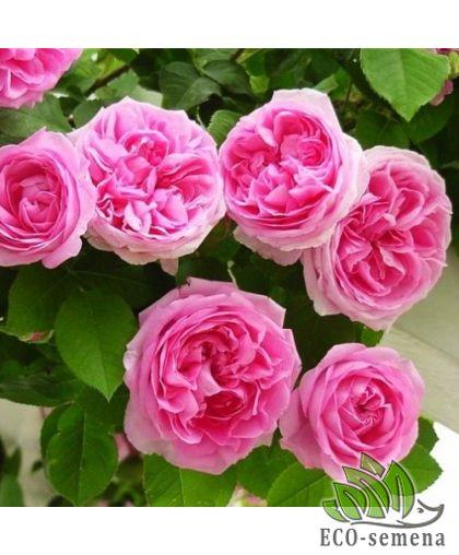 Роза Плетистая Розовая Етюд (Etude)