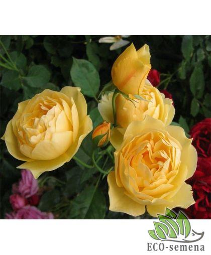 Роза Плетистая Желтая Голден Шауэрз (Golden Showers)