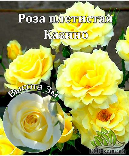 Роза Плетистая Казино (Kazino) лимонная 3м