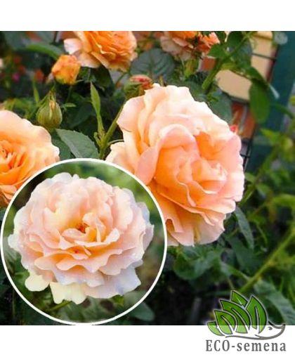 Роза Плетистая Полька (Polka) абрикосовая нежная 3,5 м