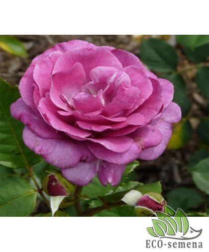 Роза Плетистая Виолет Парфум (Violette Parfume)