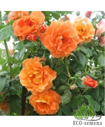 Роза Плетистая Вестерленд (Westerlend) абрикосовая 1,5 м