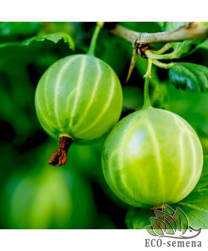 Агрус (Крыжовник) Малахит, зеленый