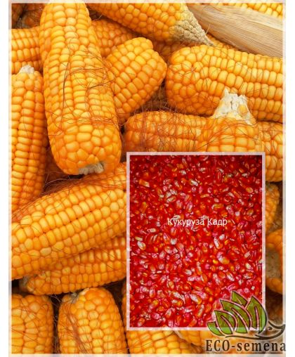 Семена кормовой Кукурузы Кадр 267 МВ, 1 кг