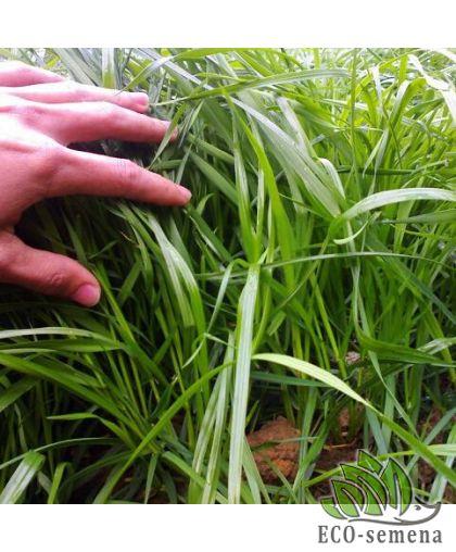 Семена трава Райграс, пакет 0,5 кг