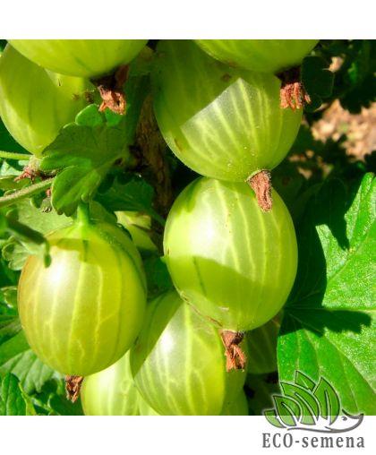 Агрус (Крыжовник) Крупноплодный, зеленый