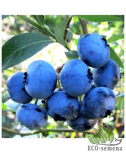 Голубика cадовая Блюголд, высокорослая, среднепоздняя